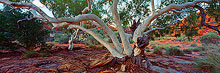 Kings Canyon Ghost Gum Photo