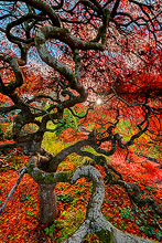 Japanese Maple Tree Photos